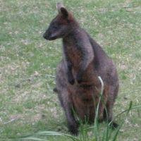 Black Swamp Wallaby