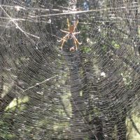 Golden Orb Weaver fishing in Vanuatu