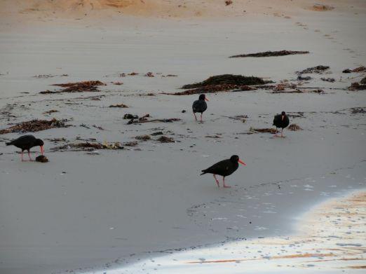 Sooty Oystercatchers