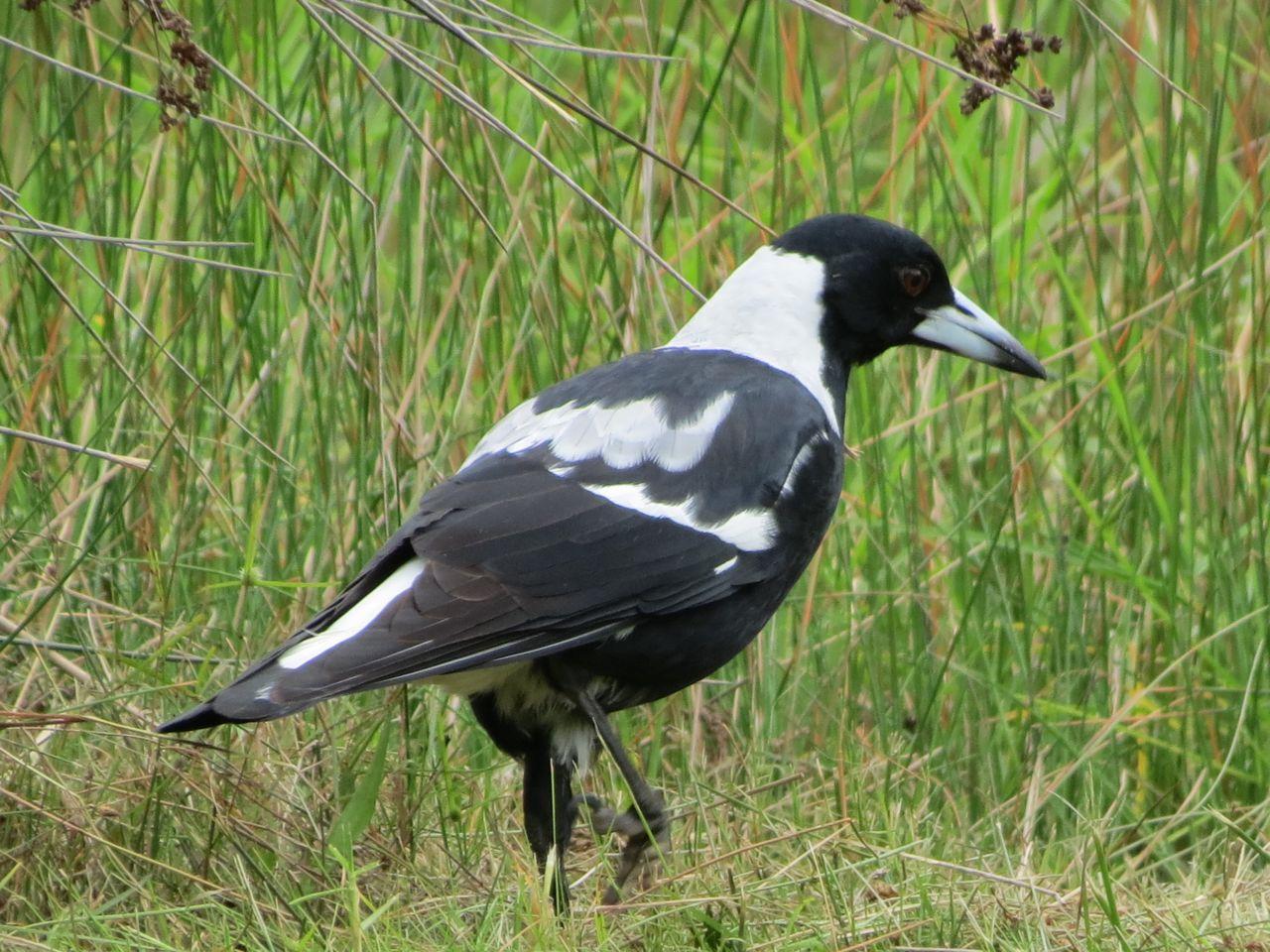 Australian Magpies | dadirridreaming - photo#7