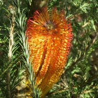 Banksia Red Rover