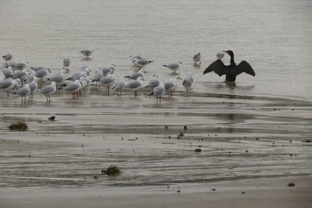 gulls and cormorant at water's edge