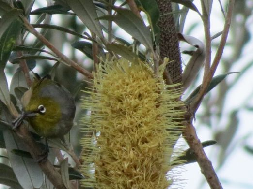 Silvereye in the Banksia