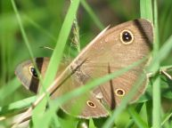 unknown small butterfly