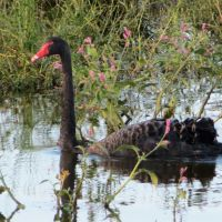 Black Swans again