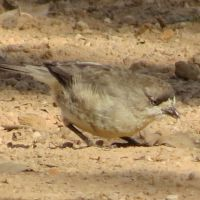 Small Birds: Whiteface, Thornbill