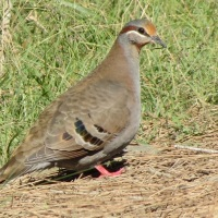 Brush Bronzewing Pigeon