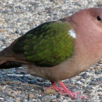 Green-winged Pigeon