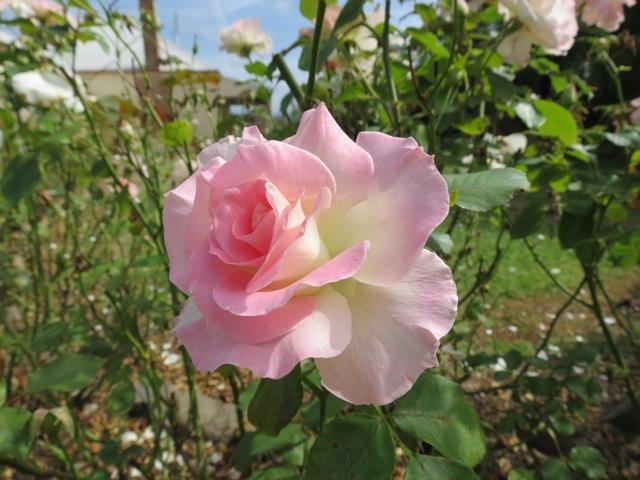 old rose, april