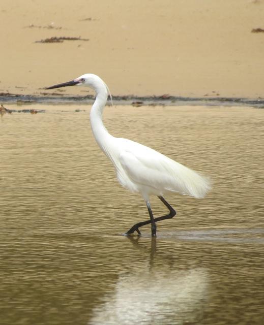 Little Egret fishing