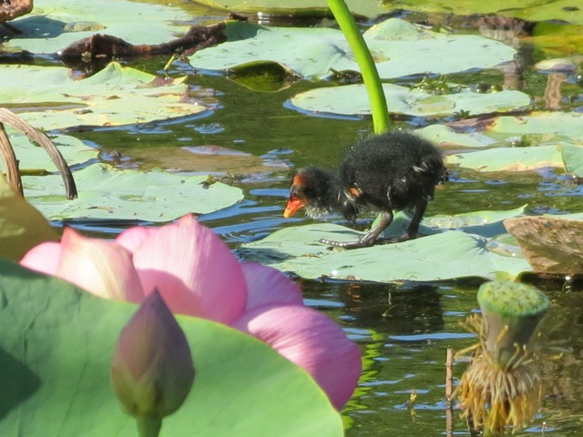 moorhen chick, february