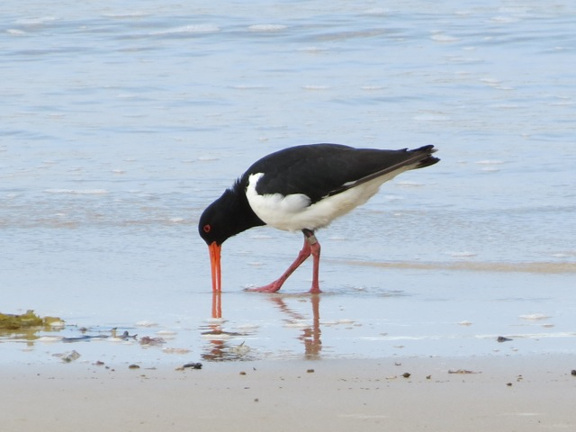 pied oystercatcher, march