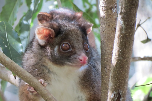 ringtail possum and young, august