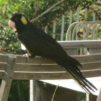Yellow-tailed Black Cockatoos