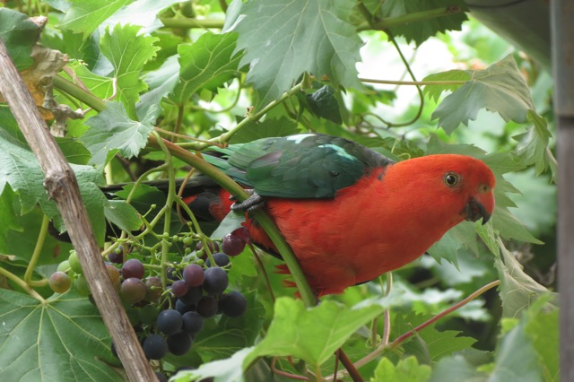 male King Parrot, known here as Mister King