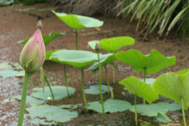 first lotus bud of 2013