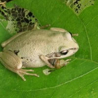 Bleating Tree Frog and Snail