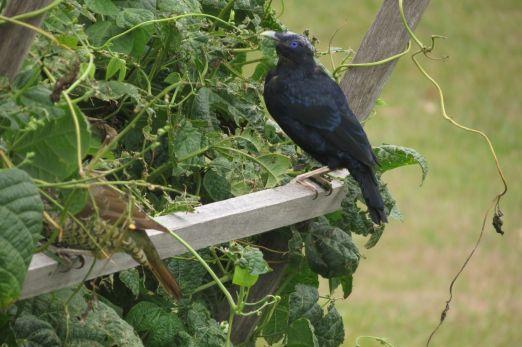 mature male bowerbird