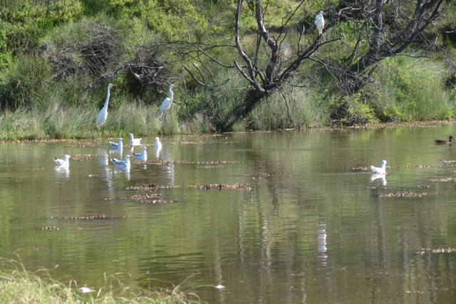 greater egret, seagulls, chestnut teal on the lagoon