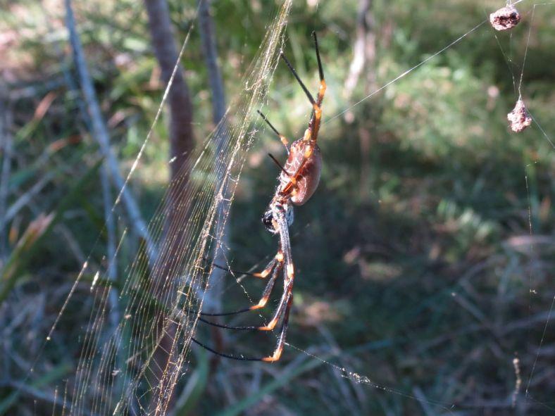 Australian golden silk orb-weaver (Nephila edulis)
