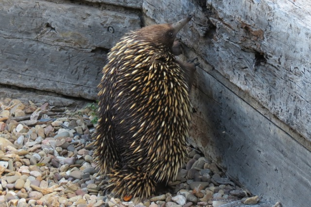 echidna looking for ants in sleeper retaining wall