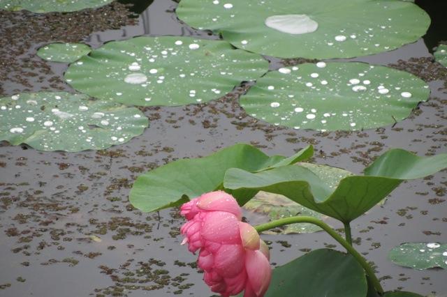 raindrops on lotus