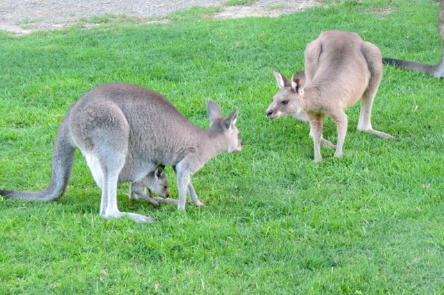 male kangaroo checking out the female