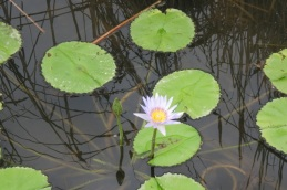aaahhh, waterlilies in a drainage canal