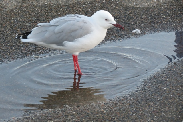 seagull in rainwater puddle