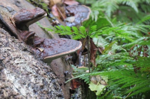shelf fungi on fallen tree