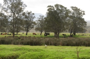 cattle grazing nearby