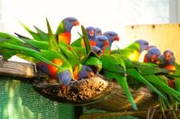 Rainbow Lorikeets at feeder