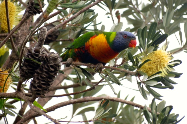 Rainbow Lorikeet in Banksia integrifolia, Bingie
