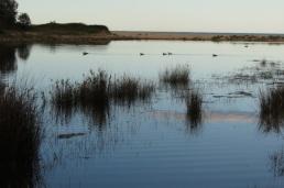 grasses, ducks, ripples