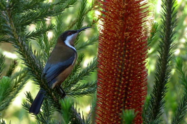 Eastern Spinebill at Banksia blossom ( Banksia Red Rover)
