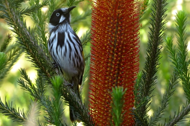 and the contender, the New Holland Honeyeater....