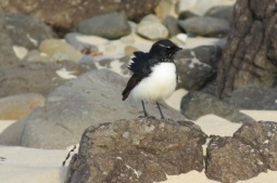 willie wagtail followed us along the beach