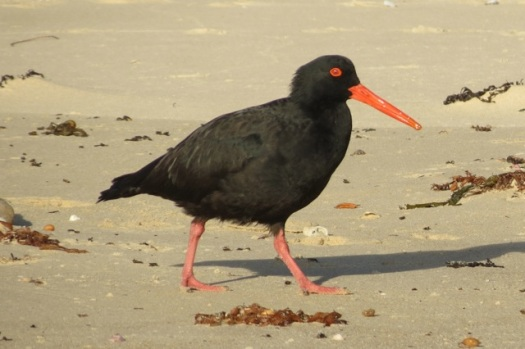 the sooty oystercatcher going about his business