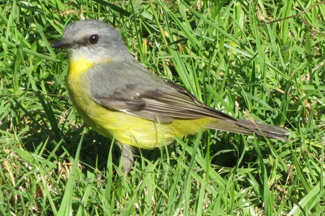 Yellow Robin in the orchard