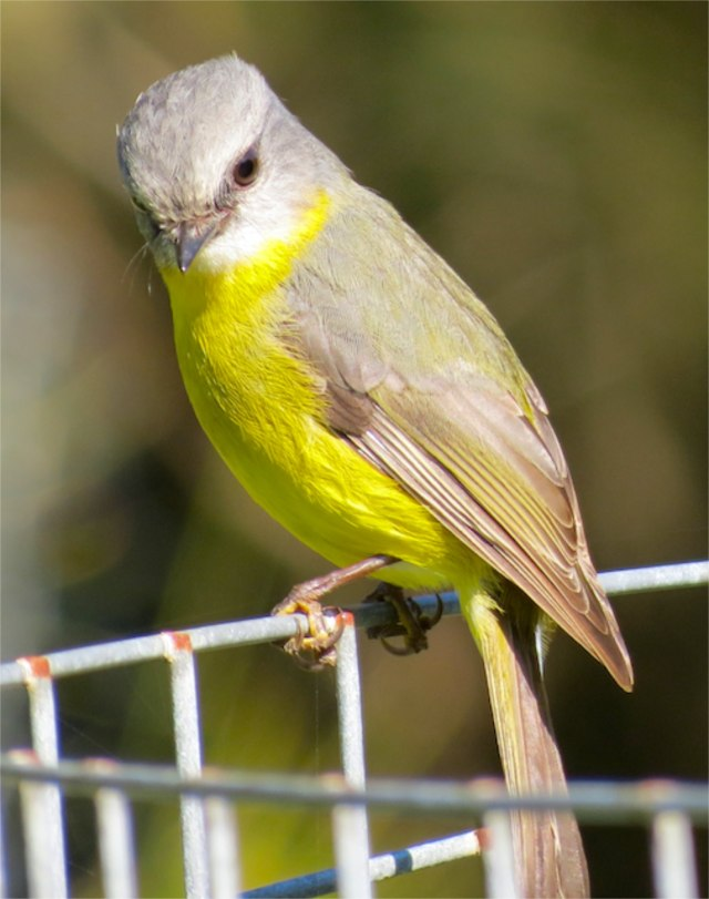 Yellow Robin on a tree cage