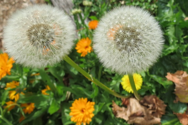 dandelions and calendula