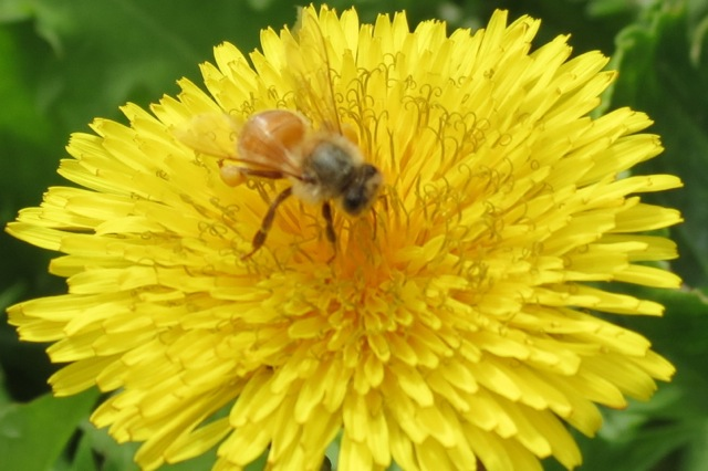 dandelion curls for a busy bee