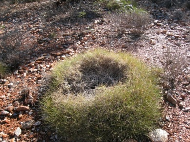 an older spinifex tussock