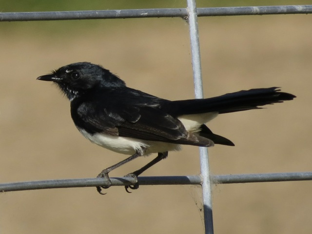wagtail on a fence