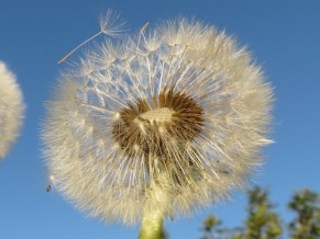 one more dandelion