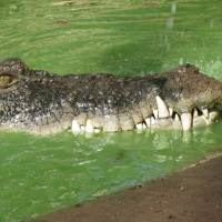 CCC: Cool Croc in Concrete Pond