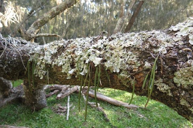 fallen casuarina, young orchid plants, lichen