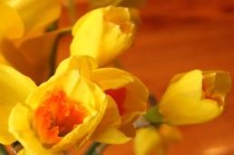 daffodilbuds
