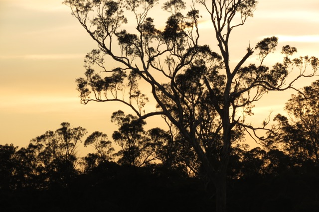 gumtrees to the north
