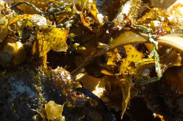 mixture of seaweeds